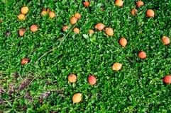 Oranje Betelfruit Royalty-vrije Stock Foto