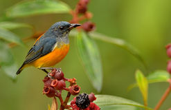 Oranje Billied Flowerpecker? Stock Afbeeldingen