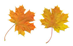 Oranje bladeren Stock Foto's