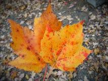 Oranje bladeren Royalty-vrije Stock Afbeelding