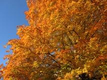 Oranje bladeren en blauwe hemel stock afbeeldingen