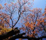 Oranje bladeren op de bomen Royalty-vrije Stock Foto's