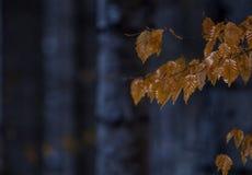 Oranje bladeren tegen de donkere boomboomstammen Stock Afbeelding