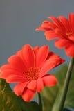 Oranje bloei Royalty-vrije Stock Fotografie