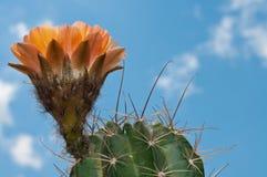 Oranje bloeiende cactus Stock Foto's