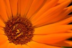 Oranje bloem 1 Stock Foto's