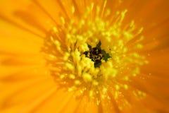 Oranje bloem Stock Afbeelding