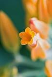 Oranje bloem royalty-vrije stock afbeelding