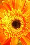 Oranje Bloem Stock Foto's