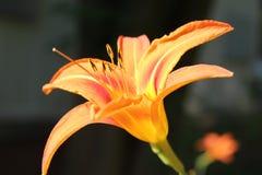 Oranje Bloem Royalty-vrije Stock Afbeeldingen