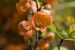 Oranje Bloem Royalty-vrije Stock Foto