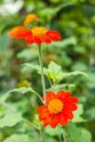 Oranje bloem in aard Stock Afbeelding