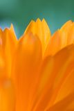 Oranje bloem (Calendula) Stock Foto