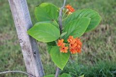 Oranje bloem in de tuin DOUBAI, de V.A.E op 26 JUNI 2017 stock foto's