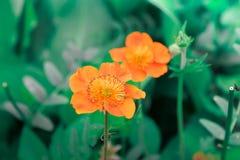 Oranje bloem in de tuin op het groene gras Royalty-vrije Stock Foto's