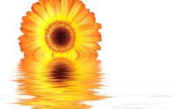 Oranje bloem die een plons krijgt Stock Fotografie