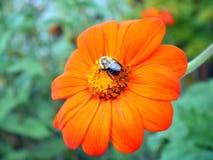 Oranje bloem en bij Royalty-vrije Stock Afbeeldingen