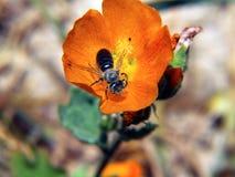 Oranje Bloem en Bij - Verticaal stock foto's