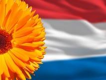 Oranje bloem en Netherland-vlag Royalty-vrije Stock Foto