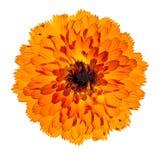 Oranje Bloem Gerbera die op Witte Achtergrond wordt geïsoleerd Stock Foto's
