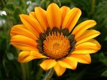 Oranje bloem II Stock Afbeelding
