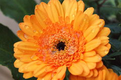 Oranje bloem met waterdalingen Royalty-vrije Stock Afbeelding