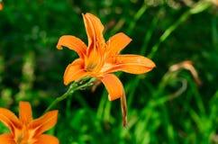 oranje bloem op aardachtergrond stock fotografie