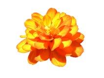 Oranje bloem op geïsoleerd stock foto