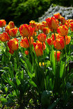 Oranje bloem, tulp Royalty-vrije Stock Foto
