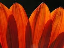 Oranje bloemblaadjes Stock Foto