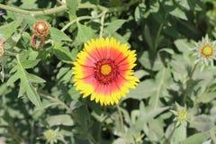 Oranje bloembloei Haar bloemen zijn zeer helder Royalty-vrije Stock Afbeeldingen