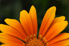 Oranje bloembloemblaadjes Stock Foto's