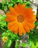 Oranje bloemcalendula Royalty-vrije Stock Foto
