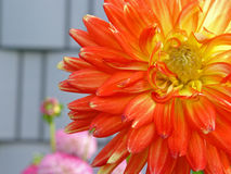 Oranje bloemclose-up Royalty-vrije Stock Afbeeldingen