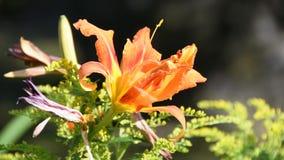Oranje bloemclose-up in tuin in de zomer stock video