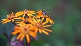 Oranje bloemen stock videobeelden