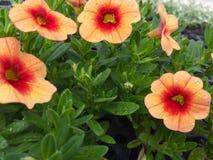 Oranje bloemen Stock Foto