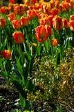 Oranje bloemen in de tuin, tulp Stock Foto