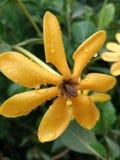 Oranje bloemen en daling van de mooie regen Stock Afbeelding