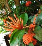 Oranje bloemen in het licht van de zon ongeveer om te bloeien royalty-vrije stock foto's