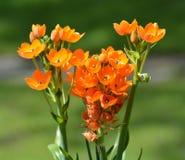 Oranje bloemen met groene achtergrond stock foto's