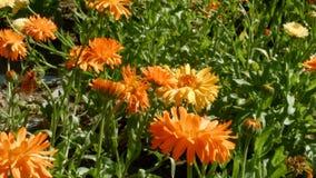 Oranje bloemen op de weide stock footage