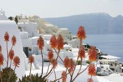 Oranje bloemen, Santorini, Griekenland Royalty-vrije Stock Fotografie