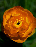 Oranje bloemen Trollius Asiaticus Stock Afbeeldingen