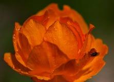 Oranje bloemen Trollius Asiaticus Stock Foto