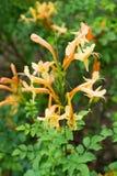 Oranje Bloemen in tuin Royalty-vrije Stock Foto