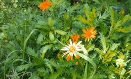Oranje Bloemen in tuin De schoonheid in Aard royalty-vrije stock foto's