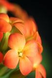 Oranje Bloemen van Kalanchoe Blossfeldiana Royalty-vrije Stock Afbeeldingen