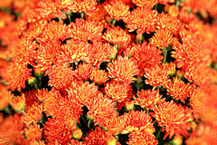 Oranje bloemenachtergrond Stock Foto