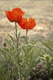 Oranje bloemenclose-up Stock Afbeelding